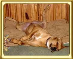 Buddy the male ridgeback cross